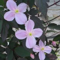 モンタナ・メイリーン咲いてます!