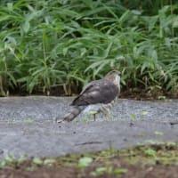 水溜りに近づいてくる、ツミの若鳥。