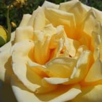 薔薇は、何色がお好きですか? ~バラ便り~(2)