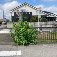 通学路に桑の木