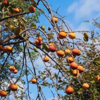 ああ柿の季節