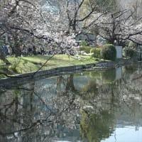 「桜」/不忍池