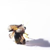 ツノハムシ