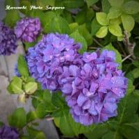 8/3  紫陽花の季節・札幌 フォトスタジオハレノヒ