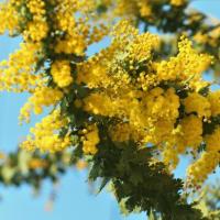 咲き出したフサアカシア