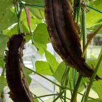 沖縄四角豆うりずんの種取り