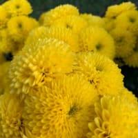 オサンポ walk - 植物plant: 菊むっちり being full of the chrysanth