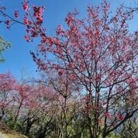 先住民ルカイ族の山里で桜フェス 文化体験や物産展も/台湾