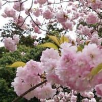 本日の塩竈桜。