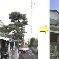 定期的な松の剪定 冬の松の剪定はこの時期が旬 この時期の松の剪定はもみあげ作業