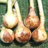 玉ねぎの様子と早生の収穫