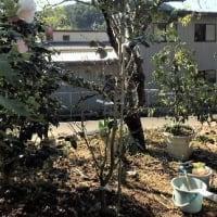 最新情報確かめ行動を 災害時の警戒レベル運用/鉢植えの椿「窓の月」の植え付け