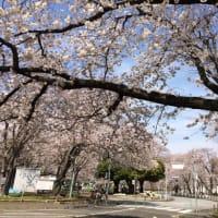 交通公園の桜が満開
