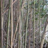 ナリヒラ竹の竹林