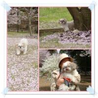 桜とメイちゃん
