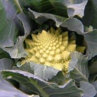 カリフラワーロマネスコに花蕾が成長