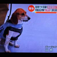 6/20 税関勤務のビーグル犬