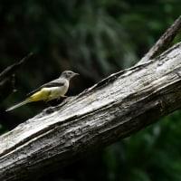 キセキレイ 幼鳥