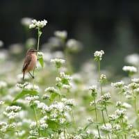 白そばの花とノビタキ2019