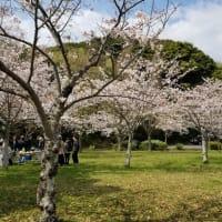 2019 桜お花見
