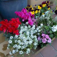 花壇でキャベツを