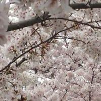 【サクラサク】2016-04-05