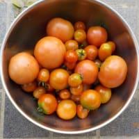 今日の収穫 キャベツ ズッキーニ ナス プリンスメロン キュウリ オクラ シシトウ インゲン トマト トウモロコシ