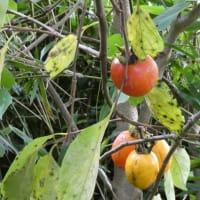 熟柿(じゅくし)。