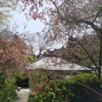 春爛漫の「明月院」