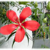 秋の到来を感じさせる花(^^♪葉がモミジのように深く手のひら状に裂けている「モミジアオイ(紅葉葵)」