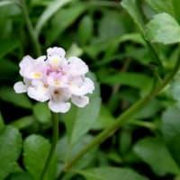 ヒメイワダレソウ(姫岩垂草)の花