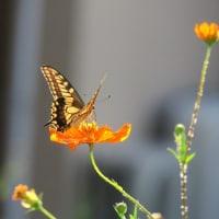 ●金沢玉鉾 犀川のコスモスロード コスモスと蝶
