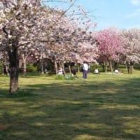 千葉市青葉公園の八重桜が満開でした2019年4月20日