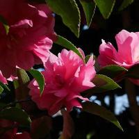 霜月の庭で日本水仙咲く