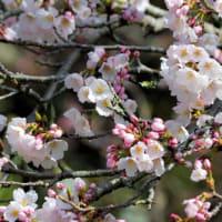 シジュウガラと当地の桜