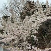 「十八成桜」まこっちゃんの石巻牡鹿くぐなりDiary①