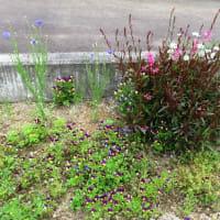 今日の落ちこぼれ花壇