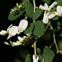 ミヤギノハギ の白い花