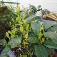 店頭の鉢植えのお茶の木・・・ようやく新芽(新茶)が出てきました。