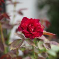 バラの夏剪定、その後
