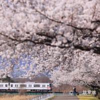 長電3000系M2編成と満開の桜