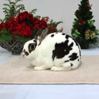 NRC 7th RabbitShow