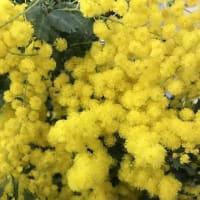 3月8日は男性から女性に日頃の感謝の気持ちを込めてミモザの花を贈る日