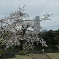 「桜」/小石川後楽園2020