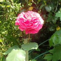 スクールセクハラの深い闇 教諭が何度も「生理ですか?」生徒の心に傷/赤紫の紫蘭とバラの花