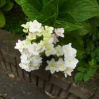 どんより…ひんやりな…秋かぁ~(-_-)ウーム  紫陽花が咲いていた!