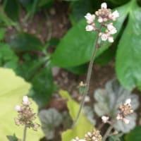 5/12 エリア4の花:セイヨウオダマキとヒューケラ