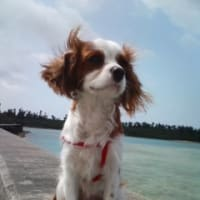 宮古島の迷犬探しにご協力ください