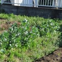 3週間を超えてから発芽した、ジャガイモ