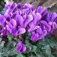 季節の花「シクラメン」